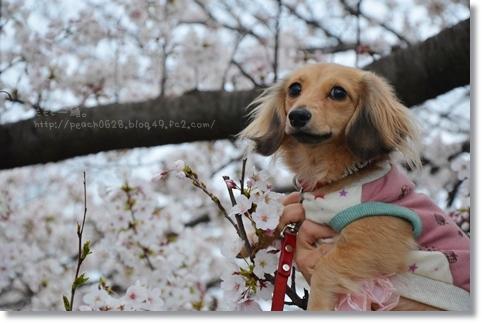 伏見川沿いの桜 087