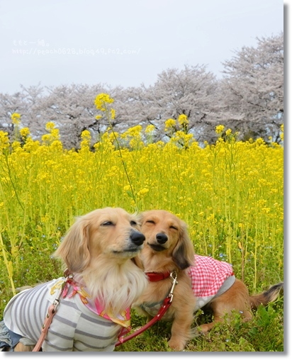 桜と菜の花2014 009