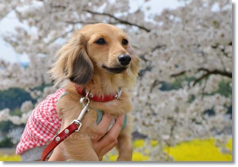 桜と菜の花2014 194