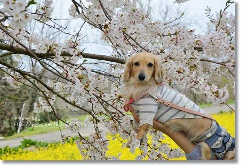 桜と菜の花2014 261