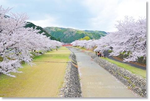岐阜の桜 003