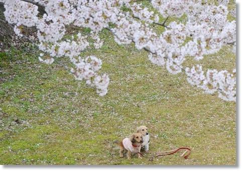岐阜の桜 015