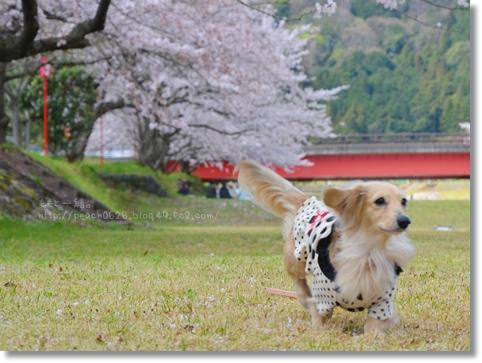 岐阜の桜 035