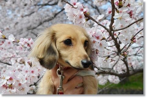 岐阜の桜 075