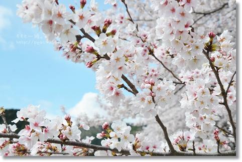岐阜の桜 133