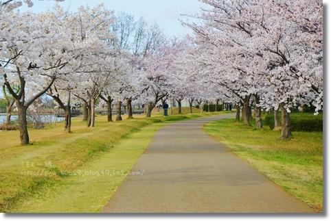 木場潟桜2014 019
