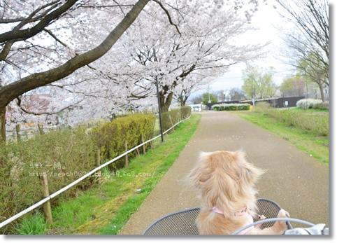 木場潟桜2014 113