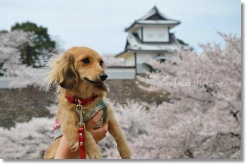 金沢城と桜2014 027