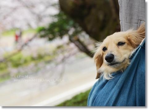 金沢城と桜2014 090