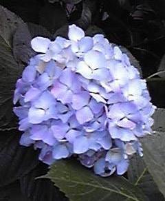 紫陽花 2014.6.2