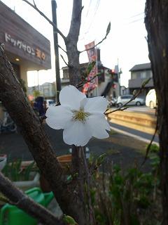 0330桜2