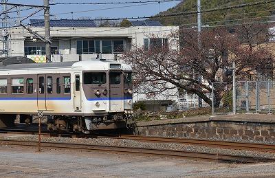 緋寒桜10