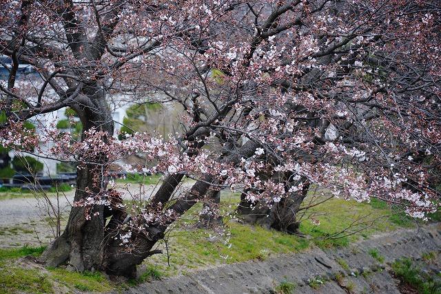 桜開花 1