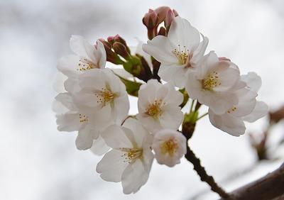 桜開花 3