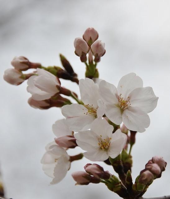 桜開花 6