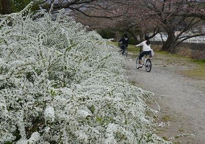 桜開花 9