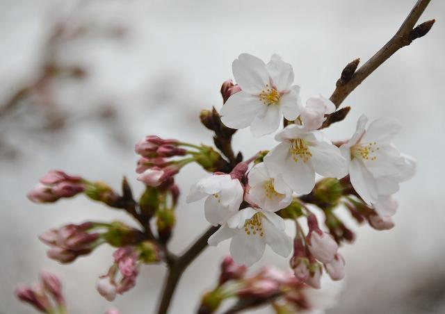 桜開花 13