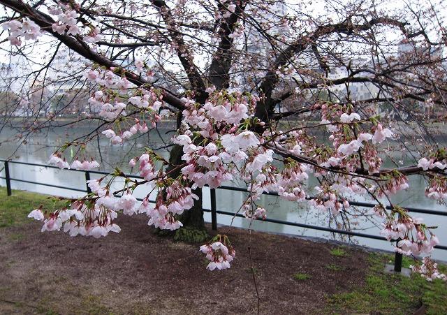京橋川の桜 1