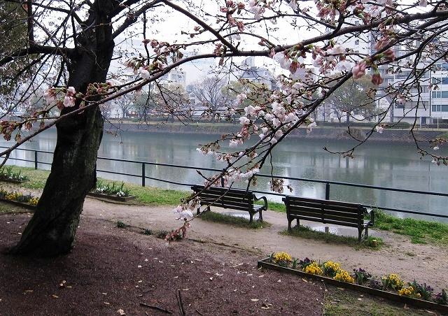 京橋川の桜3