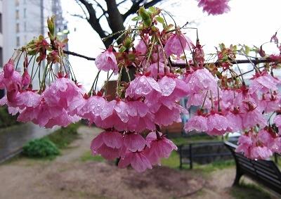 京橋川の桜5