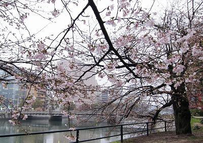 京橋川の桜 4