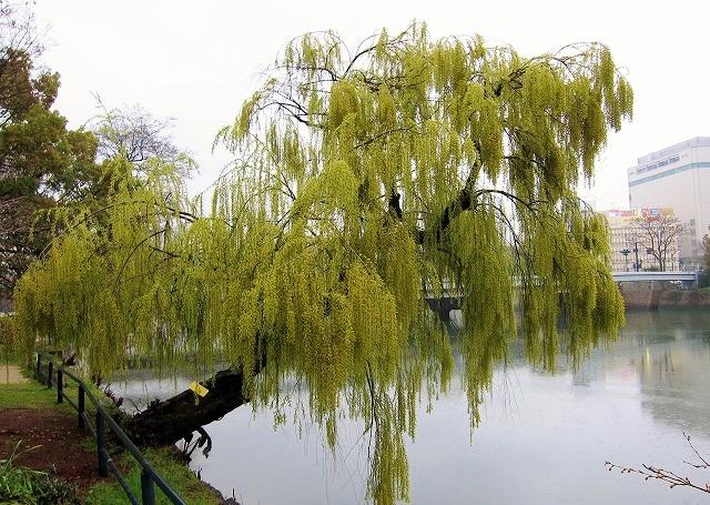 京橋川の桜 6