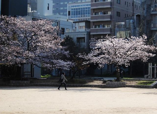 広島市の桜 1