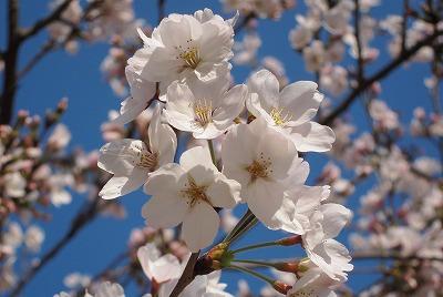 広島市の桜 2