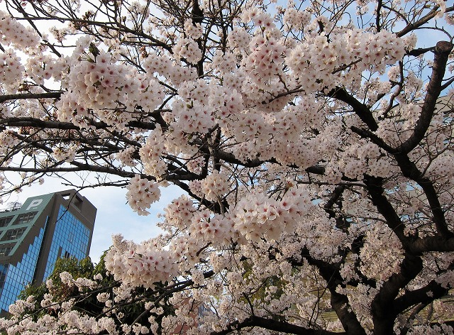 広島市の桜4