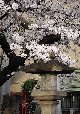 広島市の桜 5