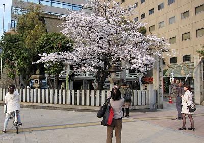 広島市の桜 6