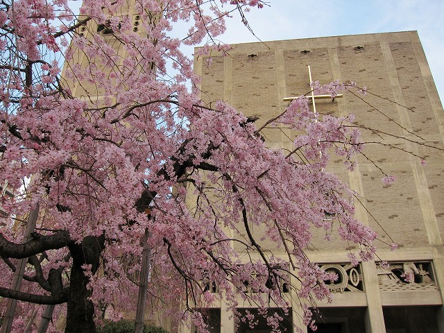 広島市の桜 7