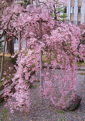 広島市の桜8