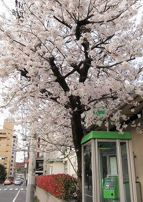 広島市の桜9
