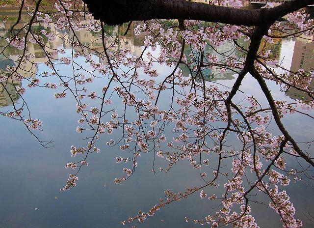 広島市の桜 10