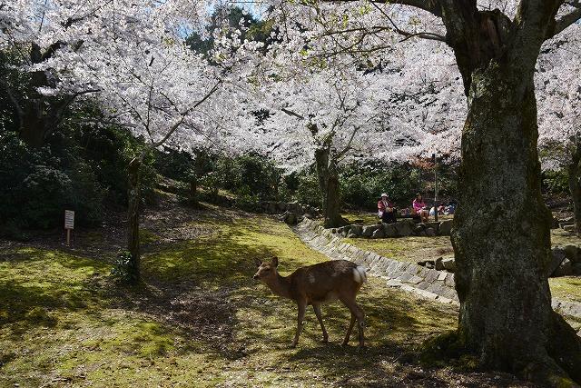桜の宴15