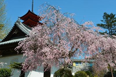 桜の宴20