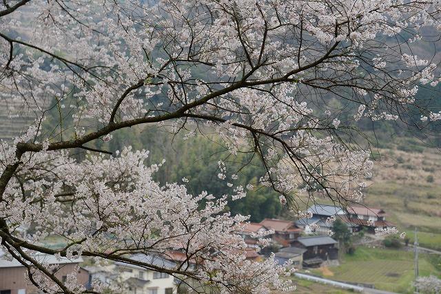 桜雨情 6