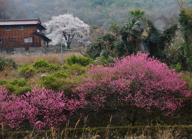 桜雨情 11