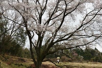 桜雨情 8