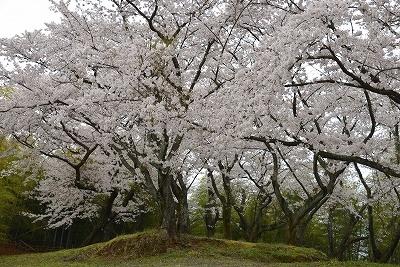 桜雨情 2
