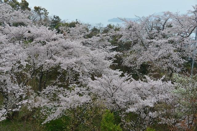 桜雨情 7