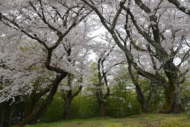 桜雨情 3