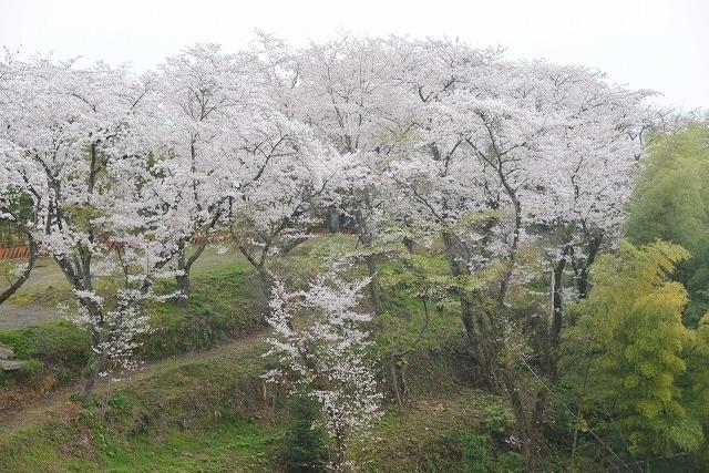 桜雨情 4