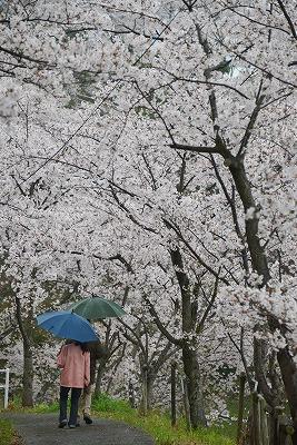 桜雨情 13
