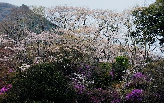三次・桜 1