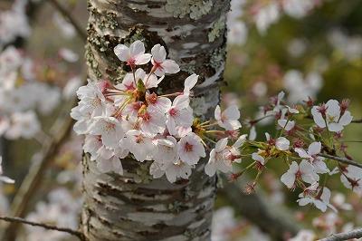 三次・桜6