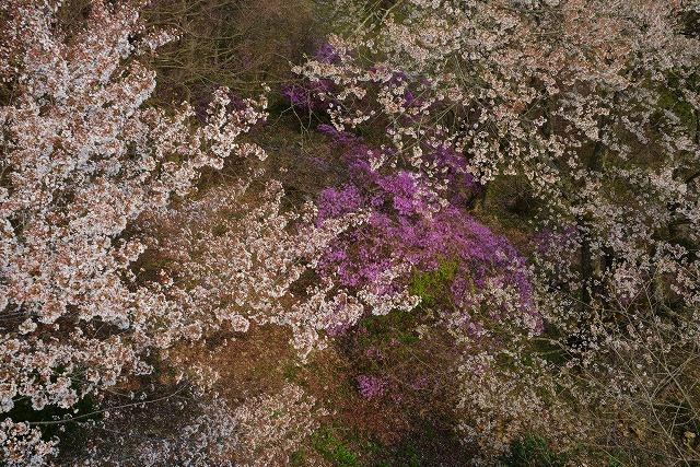 三次・桜 4