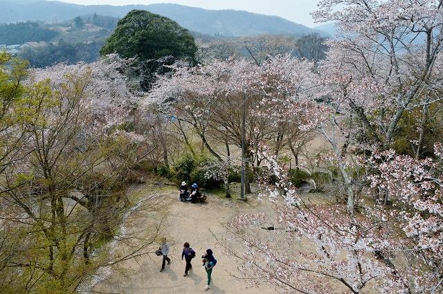 三次・桜3