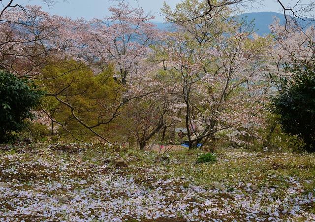 三次・桜7
